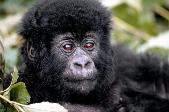 Extension Gorilles des Virungas
