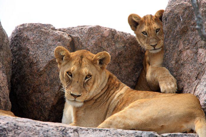 Safari «Simba», Parcs du Nord -Tanzanie