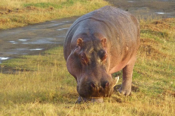 Safari Nakuru-Mara, Kenya