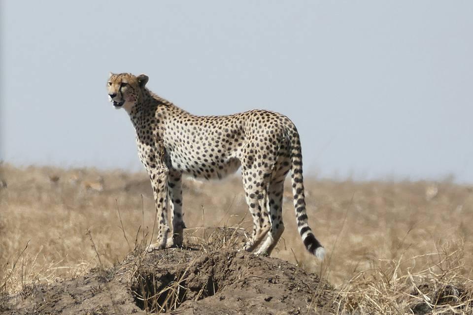 Guépard à Amboseli