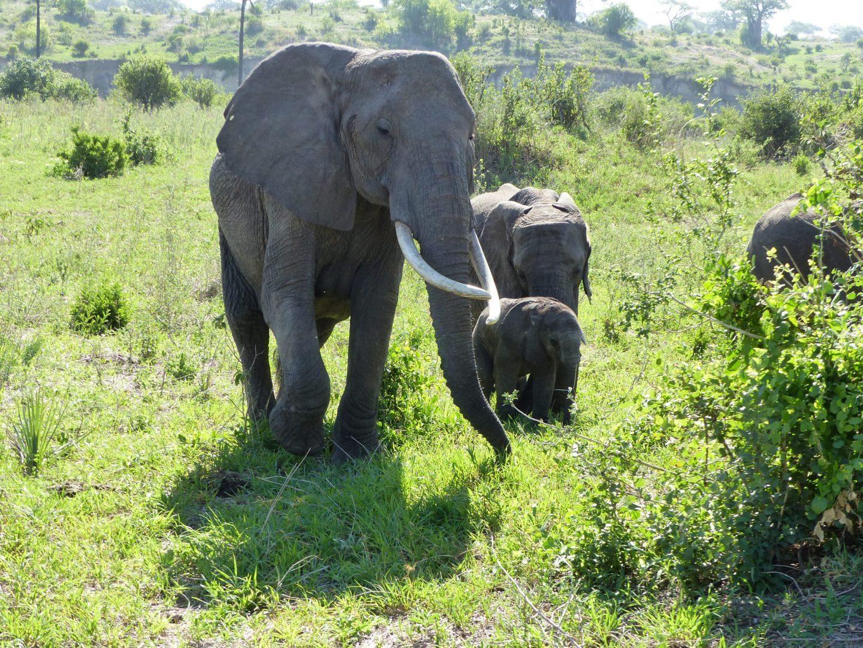 Ce vieil éléphant prend soin des bébés...