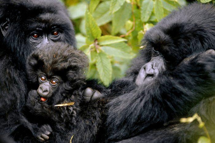 Gorilles de la forêt de Bwindi, Ouganda