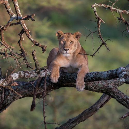 lionne sur arbre