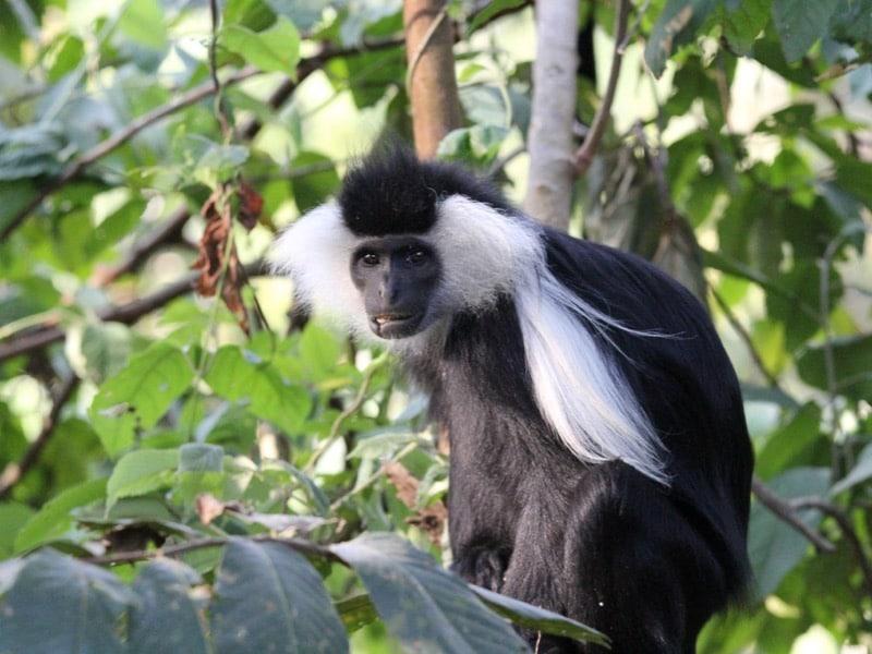 Singe forêt Nuyngwe