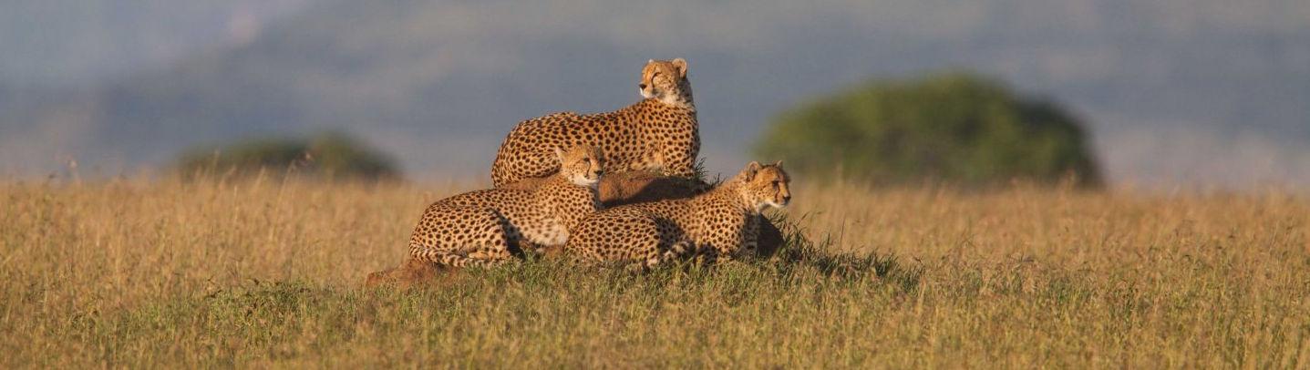 Guépards au Serengeti